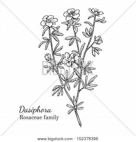 Ink dasiphora herbal illustration. Hand drawn botanical sketch style. Absolutely vector. Good for using in packaging - tea, condinent, oil etc - and other applications