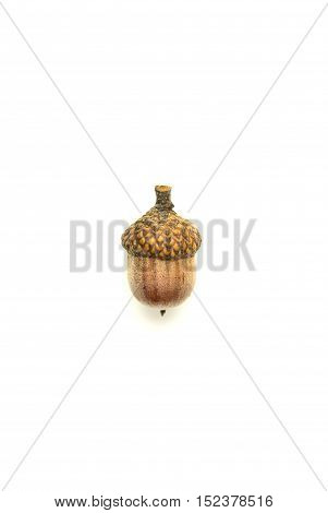 One dried autumn acorn on over white