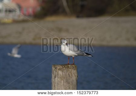 Relaxing seagull on a wooden pile. Seagulls at the Lake