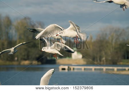 Close up of a beautiful flying seagull in front of a blue sky