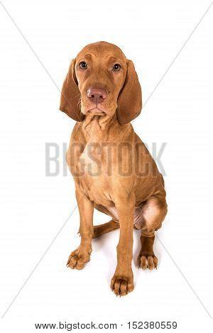 Hungarian Vizsla Pointer Puppy dog portrait in studio sitting.