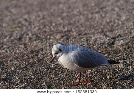 Close up of a sad seagull at the lake
