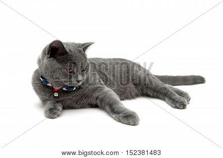 beautiful gray cat isolated on white background. horizontal photo.