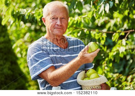 Senior picking green apples from a green apple tree in the harvesting season in the nature