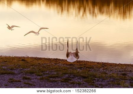 Close up of seagulls at sunset on the lake