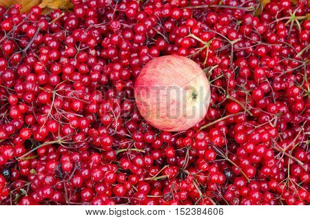 Autumn harvest. Apple on background of ripe berries of viburnum