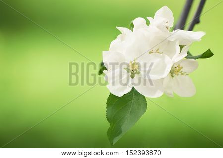 White flowers of apple trees in the spring daytime