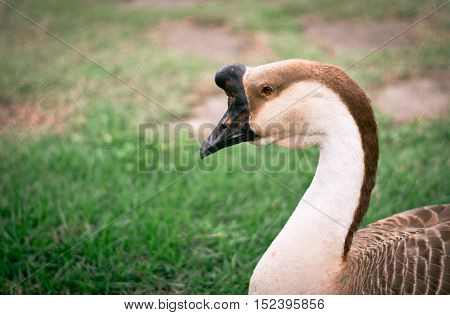 Portrait of goose in city park at the daytime