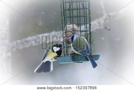a blue tit and a great tit arguing over food