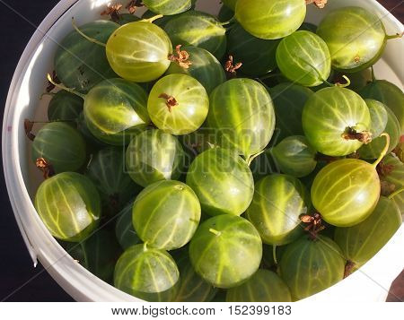 The rich crop of ripe berries of a gooseberry is reaped
