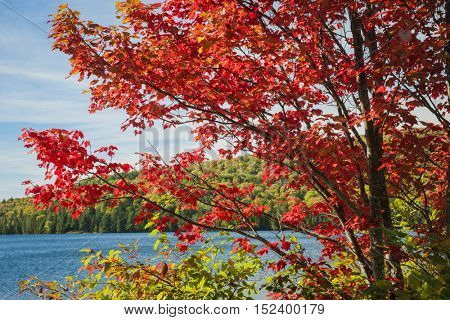 Fall maple tree with red autumn foliage on calm blue lake shore in Algonquin Provincial Park, Canada, on a sunny day