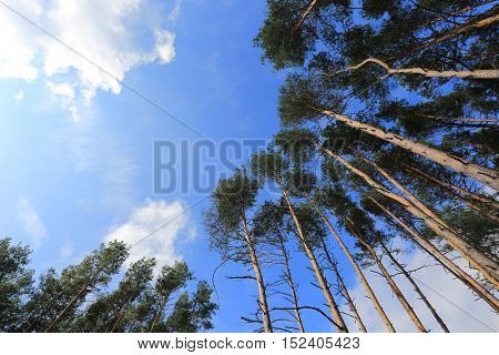 Tall pine trees on a background of white clouds in the blue sky