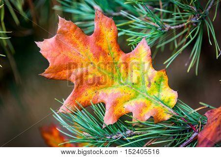 Nice autumn oak leaf on conifer branch