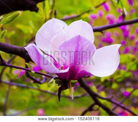 decoration of few magnolia flowers. pink magnolia flower isolated on white background. Magnolia. Magnolia flower. Magnolia flower spring branch