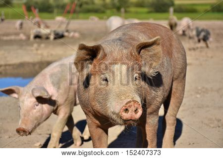 happy domestic pigs living on range land