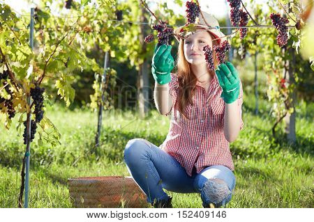 Beautiful young blonde woman harvesting grapes outdoors in vineyard