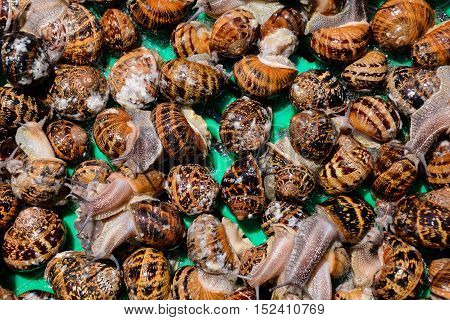 Edible Snail Escargot