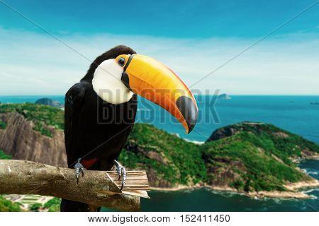 Toucan bird on the nature in Rio de Janeiro, Brazil