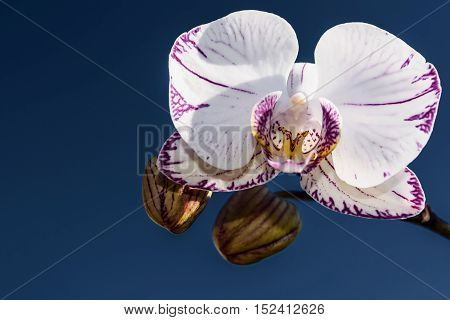 Beautiful floral background with a white orchid flower with a pink border and spotted closeup on blue sky background