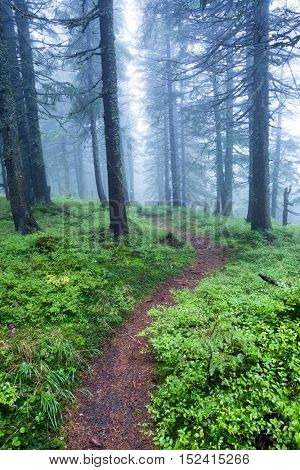 pathway  in the forest in the fog