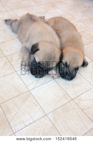 Two of German Shepherd puppies sleeping on the tileselective focused