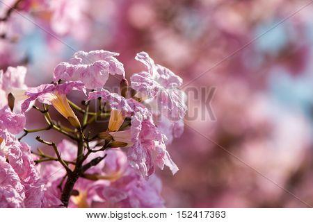 Close up view of Tacoma spp flower that looks like sakura
