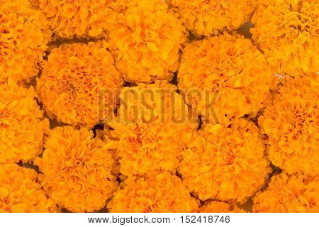 Marigold flowers spread and filled in as background