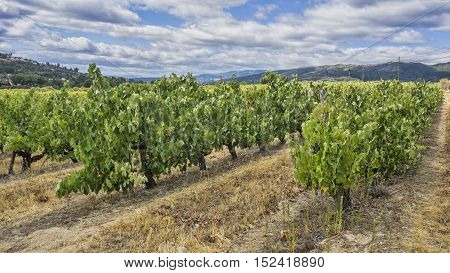 Vineyards in the summer on a sunny day