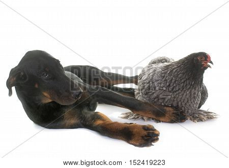 brahma chicken and puppy beauceron in front of white background