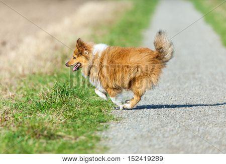 a Shetland Sheepdog runs over a way