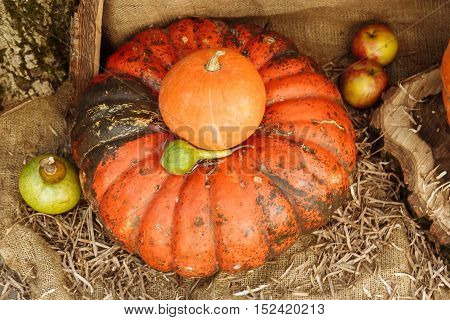 Fresh pumpkin from the field only for Halloween