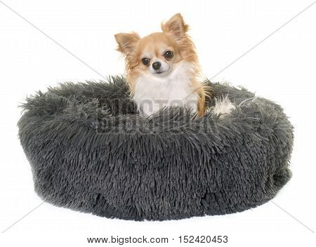 dog cushion and chihuahua in front of white background