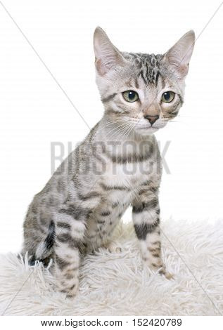 bengal kitten in front of white background