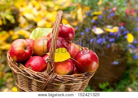detail of red apples in the wicker basket