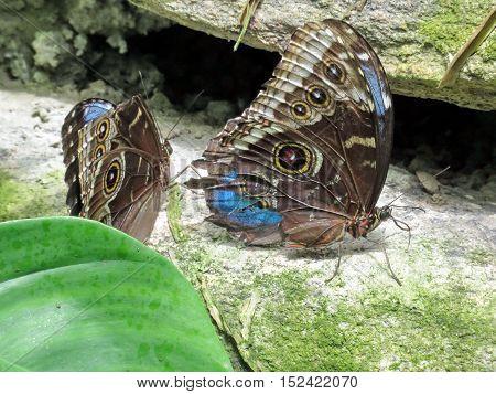 The Common Morpho butterflies in garden of Niagara Falls Ontario 16 July 2016 Canada