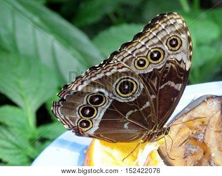 The Common Morpho butterfly in garden of Niagara Falls Ontario 16 July 2016 Canada