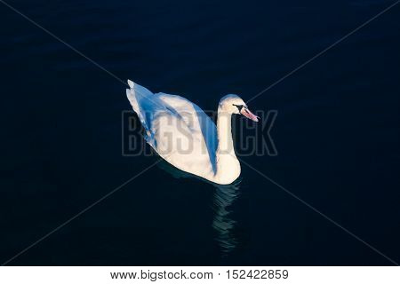 Swan. White Swan. White on black. Bright white swan backlit on a dark blue water.