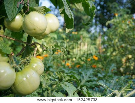 large green tomatoes that ripen on the dacha