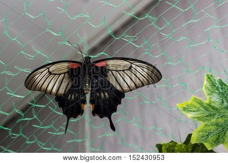 Tropical butterfly Papilio lowi on the grid.