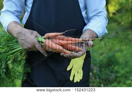 gardener man holding carrot harvest in a hand outdoor in nature