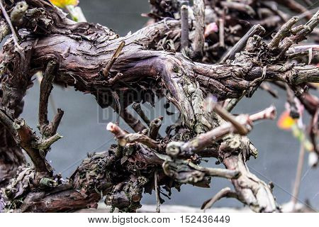 Winding brown vine branch sprout in spring