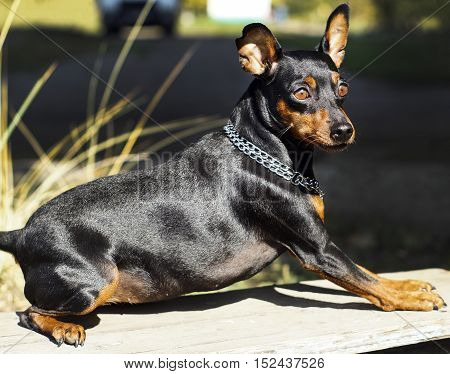 small black brown dog with chain around his neck is lying on the board