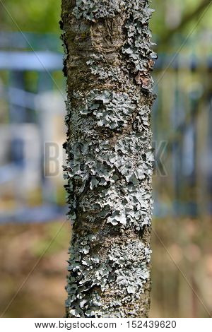 lone tree trunk covered with gray lichen