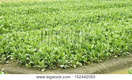 Kale plant crop photo around plot have canal or digging for watering.This photo at Bangbuathong Nonthaburi Thailand.