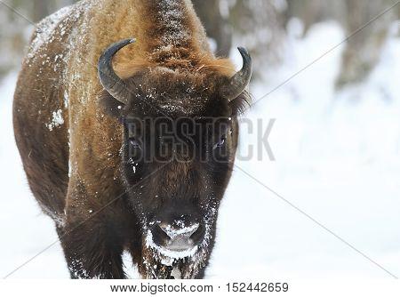 big shaggy Buffalo pulling his funny face