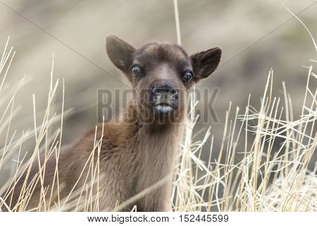 Portrait calf reindeer cloudy day in the grass