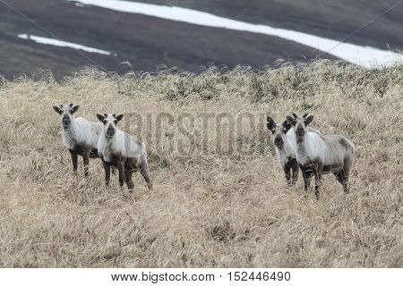 wild reindeer on the tundra in the early spring on a cloudy day