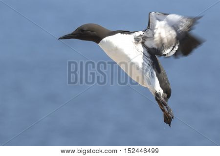 common murre at the time of landing on the rocks in the colony