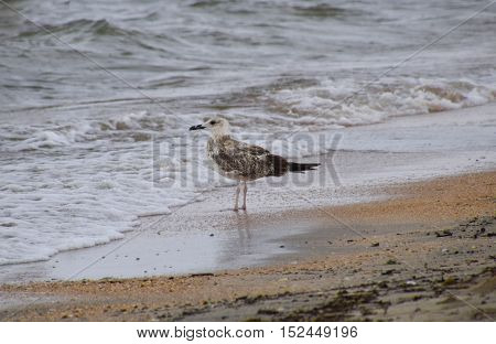 Common Gulls On The Beach. Seagulls Looking For Food