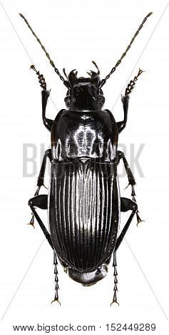 Parallel-sided Ground Beetle on white Background - Abax parallelepipedus (Piller and Mitterpacher 1783)